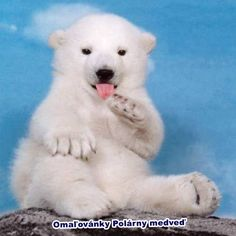 New print coloring pages and draw little polar bear http://veu.sk/index.php/detske-omalovanky/1781-nove-omalovanky-vytlac-a-kresli-maly-polarny-medved.html #print #coloring #pages #little #polar #bear
