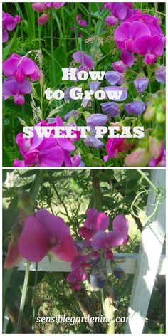 Flower Garden Growing Sweet Peas with Sensible Gardening - Growing sweet peas. Step by step instructions for growing this wonderful, old fashioned, garden flowering vine. Fill your garden with sweet perfume. Cut Flower Garden, Beautiful Flowers Garden, Flower Gardening, Growing Flowers, Planting Flowers, Wicken, Growing Sweet Peas, Sweet Pea Flowers, Flowering Vines