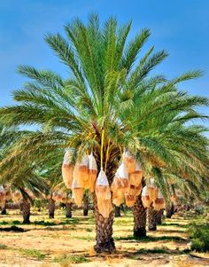 The date palm tree is highly versatile. They are beautiful looking- making it terrific in landscapes and super fruit producer for commercial production. Fruit Garden, Garden Trees, Tropical Garden, Tropical Plants, Vegetable Garden, Palm Tree Fruit, Fruit Trees, Trees To Plant, Palm Trees