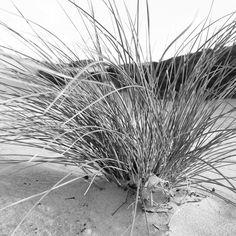 Dunes plant