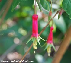 fuchsia splendens, shrub from costa rica.  Berries, yes.