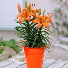 Patio Lily Orange Pixie with Orange Metal Planter and Growers Pot