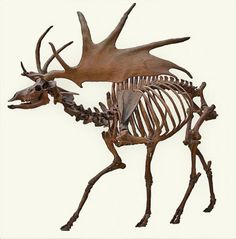MEGALOCEROS: The Irish elk (Megaloceros giganteus), also called the giant deer or Irish giant deer, is an extinct species of deer in the genus Megaloceros Moose Skull, Moose Art, Deer Skeleton, Irish Elk, Skull Anatomy, Animal Anatomy, Deer Species, Creepy Drawings, Animal Skeletons