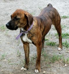 Bringing the brindled Brinley back from the brink!This two-year-old Boxer-Hound mix (and recent mother) arrivedas a stray at the Darlington County Humane Society shelter in South Carolina on April 17th. Being heartworm positive, Brinley faced long odds of getting adopted or rescued. Sure enough, she showed up on the shelter's dreaded Put To Sleep list for May 29th.