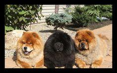 three chow chows