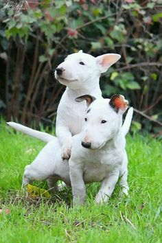 Two Bull Terrier puppies playing in the garden. Perros Bull Terrier, Bull Terrier Puppy, Terrier Puppies, Bully Terrier, White Bull Terrier, Mini Bull Terriers, English Bull Terriers, Cute Puppies, Cute Dogs