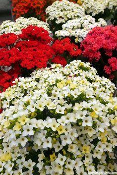 Kalanchoes are popular succulent houseplants with colorful, long lasting blooms. Here's how to care for flowering kalanchoes, keep them going for the long haul & get them to bloom again. There's also a video to guide you.