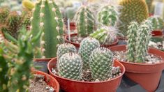 Cultivating the beautiful in Omaha, Nebraska Cacti, Cactus Plants, Opuntia Basilaris, Opuntia Microdasys, Cactus Types, Weird Shapes, Drought Tolerant Plants, Water Conservation, Small Groups