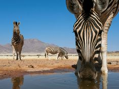 A long-lashed zebra grabs a drink at a water hole in NamibRand Nature Reserve, a private conservation area in southern Namibia.