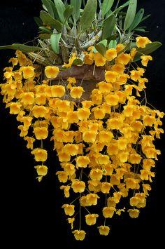 Dendrobium lindleyi | Flickr: Intercambio de fotos