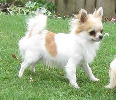Chihuahua at play