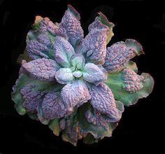 Echeveria hybrid by sky_view, via Flickr