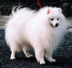 """BSZR CH. Charles of Grace Hyde  CH. チャールズ オブ グレイスハイド ★  Japanese Spitz Association 103rd (Autumn) headquarters Exhibition 2009  Reprinted from Japan Spitz Association Osaka Branch Home Page""""."""
