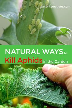 natural ways to kill aphids work just as well as chemical sprays and are much safer for your garden, family, and pets! via natural ways to kill aphids work just as well as chemical sprays and are much safer for your garden, family, and pets! Garden Bugs, Garden Pests, Garden Care, Lawn And Garden, Edible Garden, Garden Bug Spray, Slugs In Garden, Fruit Tree Garden, Planter Garden