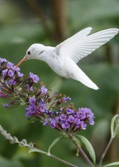 Albino Ruby-Throated Hummingbird