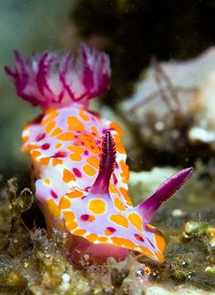 Nudibranchs are some of the most beautiful sea creatures I've ever seen Underwater Creatures, Underwater Life, Ocean Creatures, Weird Sea Creatures, Underwater Animals, Beautiful Sea Creatures, Animals Beautiful, Beneath The Sea, Under The Sea