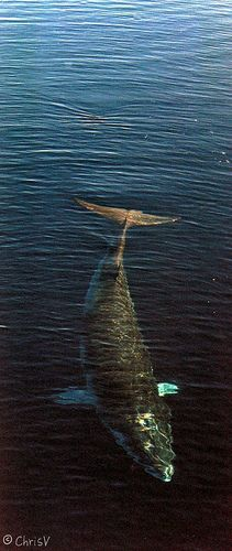 I'm loving the above the water shots // Antarctic Minke whale