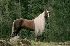 The breathtaking Morgan horse Farceur's Fools Gold. A beautiful, gentle, athletic, versatile stallion. Everything a Morgan should be!