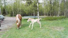 Blogi  OMAISAPU.fi      : Uusi elämä ilo varsa syntyminen