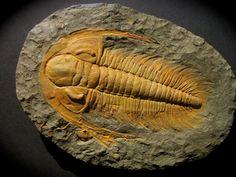 Acadoaradoxides nobilis    Trilobites Order Redlichiida, Suborder Redlichiina, Superfamily Paradoxidoidea, Family Paradoxididae  Geologic Age: Early Cambrian  Trilobite is 240 mm long   Hamar Tassmamte, Zagora, Morocco
