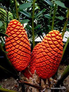 Cycad Encephalartos ferox male cones