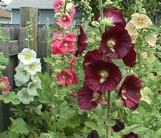 my mother instilled the love of hollyhocks in me as a child and I am so happy that she did :)