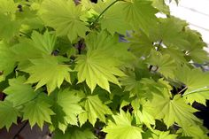 Fullmoon maple (Acer shirasawanum, zones 5 to 9) ups the ante with leaves that have up to 13 lobes. This small maple grows 15 to 30 feet tall and wide, and prefers at least light shade, if not full shade. The cultivar 'Aureum' (shown) is a standout, with spectacular gold foliage. (Yet another gold foliage plant for shade!) It turns gorgeous shades of red and gold in fall.