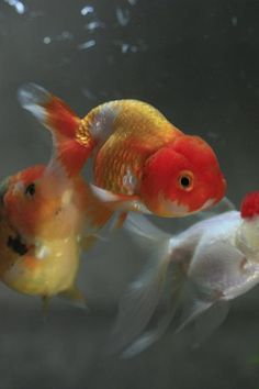 Japanese goldfish, Kingyo 金魚
