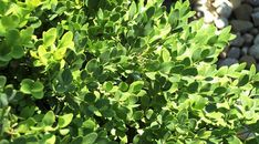 There's a Boxwood For Every Garden | Grow Beautifully