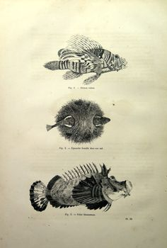 Curious vintage 1860 fishes print red lionfish antique