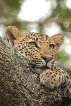 leopard by Ryan Jack on 500px