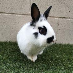Despues de tanto llover al final hoy hemos podido salir al jardín a jugar y correr   After so much rain at the end today we could go into the garden to play and run #bunnysofinstagram #rabbit #rabbits #lovecute #bunny #houserabbit #rabbitlover #rabbitsofinstagram #rabbitstagram #rabbitsworldwide #bunnies #bunniesofig #rabbitears #cutebunny #cuterabbit #petaccount #petsgram #pets #love #loveanimal #loveanimals #animals #instalife #instanaturelover #instagood #instagood by oreo_tito