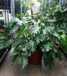 Mooie grote kamerplanten   Xanadu kan op een schaduwplek   Chicplants