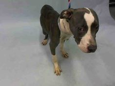 SAFE 10-8-2015 --- Manhattan Center CORAL – A1053698  FEMALE, GRAY / WHITE, PIT BULL MIX, 6 mos STRAY – STRAY WAIT, NO HOLD Reason STRAY Intake condition EXAM REQ Intake Date 10/04/2015,