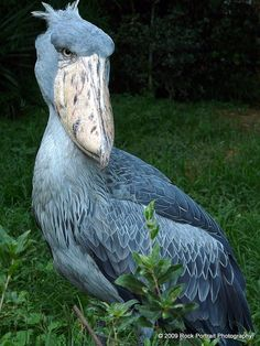 The Shoebill Stork is one of the worlds more endangered species and is actually considered one of the worlds ugliest animals next to the Wildebeest. People have clearly never delved deeply enough into the species of the sea to think this bird one of the ugliest animals on earth.