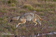 Coyote image