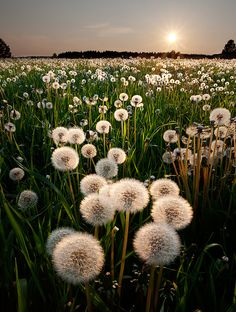 ✯ Dandelion Sunset, Sweden