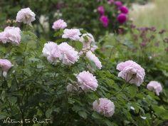 Redouté. Eine traumhaft schöne Englische Rose im Rosenbeet.