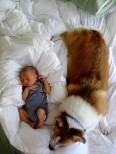 In addition to their amazing powers of disguise, they're very caring. Just check out this corgi watching over a baby. | Irrefutable Proof That Corgis Are Actually Secretly Superheroes