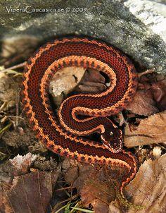 Pelias kaznokovi--viper #snakes #reptiles #topanimals