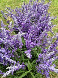 Salvia il sapore dei fiori è simile a quello delle foglie ma più delicato