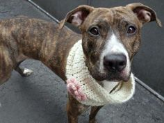 TO BE DESTROYED - SUNDAY - 4/27/14, URGENT - Manhattan Center    LADY - A0996955    FEMALE, BR BRINDLE / WHITE, PIT BULL MIX, 2 yrs  STRAY - STRAY WAIT, NO HOLD  Reason STRAY   Intake condition NONE Intake Date 04/17/2014, From NY 10456, DueOut Date 04/17/2014,   https://www.facebook.com/photo.php?fbid=789659611046920&set=a.617938651552351.1073741868.152876678058553&type=3&permPage=1