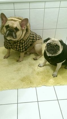 Henry and Stella, all bundled up for Winter, French Bulldog and a Pug ❤