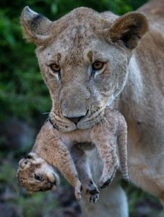 Lion cub metro at Kicheche Bush Camp in the Olare Conservancy in the Maasai Mara, Kenya. by Charlotte Rhodes I Love Cats, Big Cats, Cats And Kittens, Cute Cats, Cute Baby Animals, Animals And Pets, Funny Animals, Wild Animals, Beautiful Cats