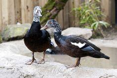 White Winged Wood Duck pair