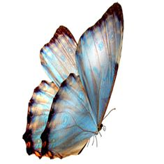 blue-butterfly.png (300×301)