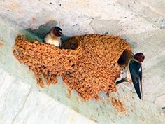 How to Get Rid of Barn Swallows: Effective Tips to Control Colorful Birds Barn Swallow, Swallow Bird, Get Rid Of Pigeons, Bird Building Nest, Bird Barn, Garden Animals, Colorful Birds, Bird Houses, Metal Art