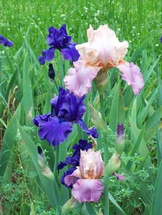 irises-my absolute favorite flower  Tennessee State Flower!