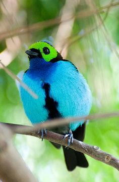Paradise Tanager (Tangara chilensis)  is the quintessential multicolored neotropical bird. This spectacular tanager delights visiting birders throughout much of the Amazon basin.