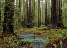 Upper Bull Creek Flats, Humboldt Redwoods State Park, California - The Tallest Forest on Earth